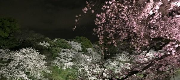 Sakura in Tokyo, 2016